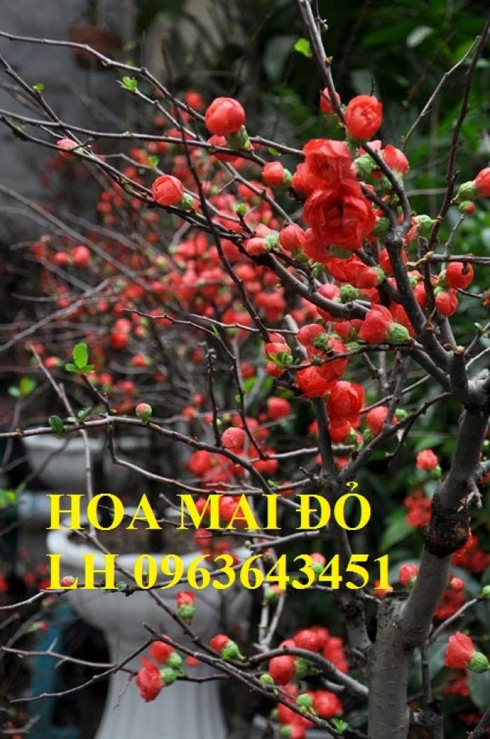 Sỉ, lẻ cây mai đỏ, cây hoa mai đỏ bán tết, cây hoa mai đỏ bonsai, uy tín, giao toàn quốc0