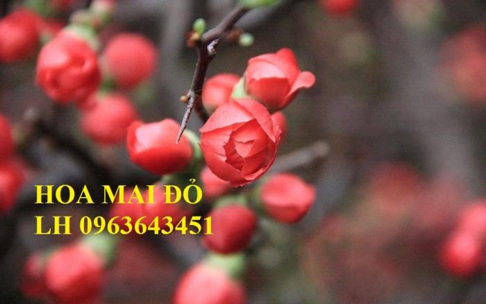 Sỉ, lẻ cây mai đỏ, cây hoa mai đỏ bán tết, cây hoa mai đỏ bonsai, uy tín, giao toàn quốc8