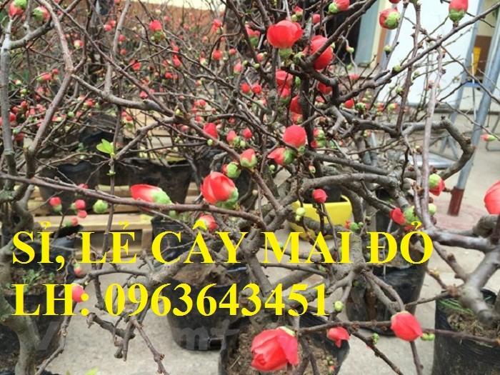 Sỉ, lẻ cây mai đỏ, cây hoa mai đỏ bán tết, cây hoa mai đỏ bonsai, uy tín, giao toàn quốc4