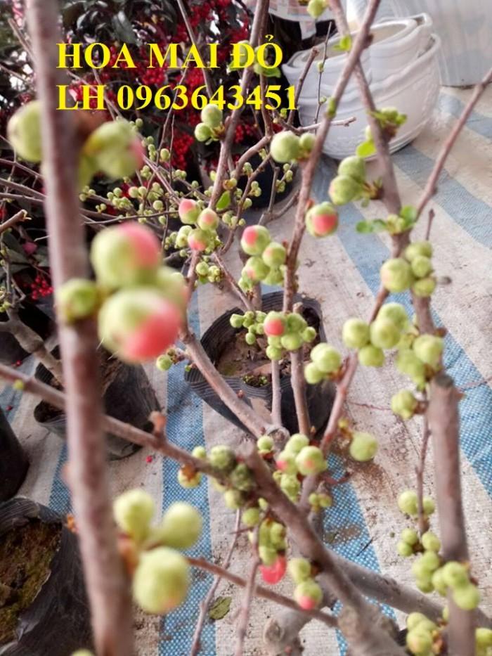 Sỉ, lẻ cây mai đỏ, cây hoa mai đỏ bán tết, cây hoa mai đỏ bonsai, uy tín, giao toàn quốc3