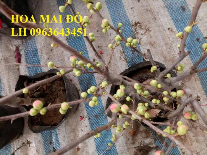 Sỉ, lẻ cây mai đỏ, cây hoa mai đỏ bán tết, cây hoa mai đỏ bonsai, uy tín, giao toàn quốc5