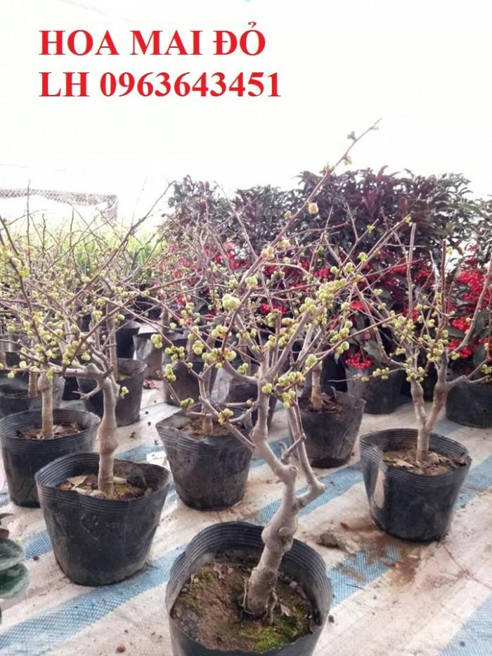 Sỉ, lẻ cây mai đỏ, cây hoa mai đỏ bán tết, cây hoa mai đỏ bonsai, uy tín, giao toàn quốc2