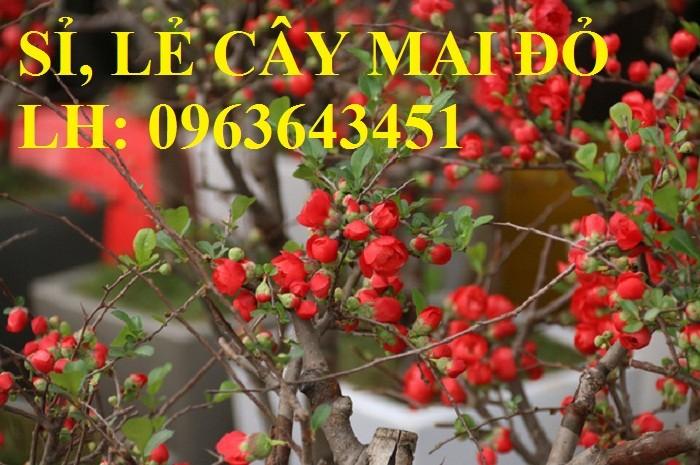 Sỉ, lẻ cây mai đỏ, cây hoa mai đỏ bán tết, cây hoa mai đỏ bonsai, uy tín, giao toàn quốc9