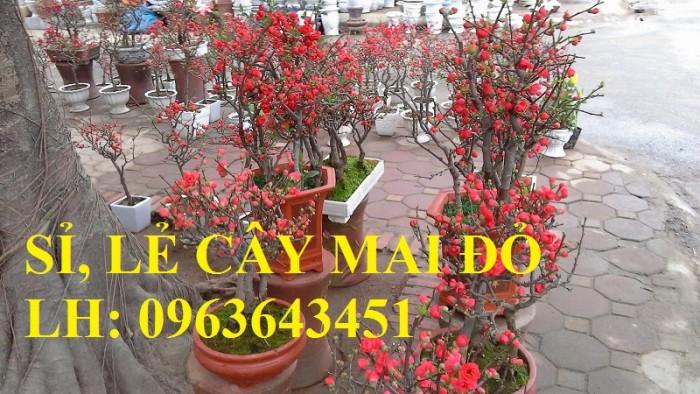 Sỉ, lẻ cây mai đỏ, cây hoa mai đỏ bán tết, cây hoa mai đỏ bonsai, uy tín, giao toàn quốc10