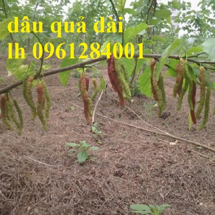 Cây giống dâu quả dài, dâu quả dài đài loan, cây giống nhập khẩu chất lượng cao3