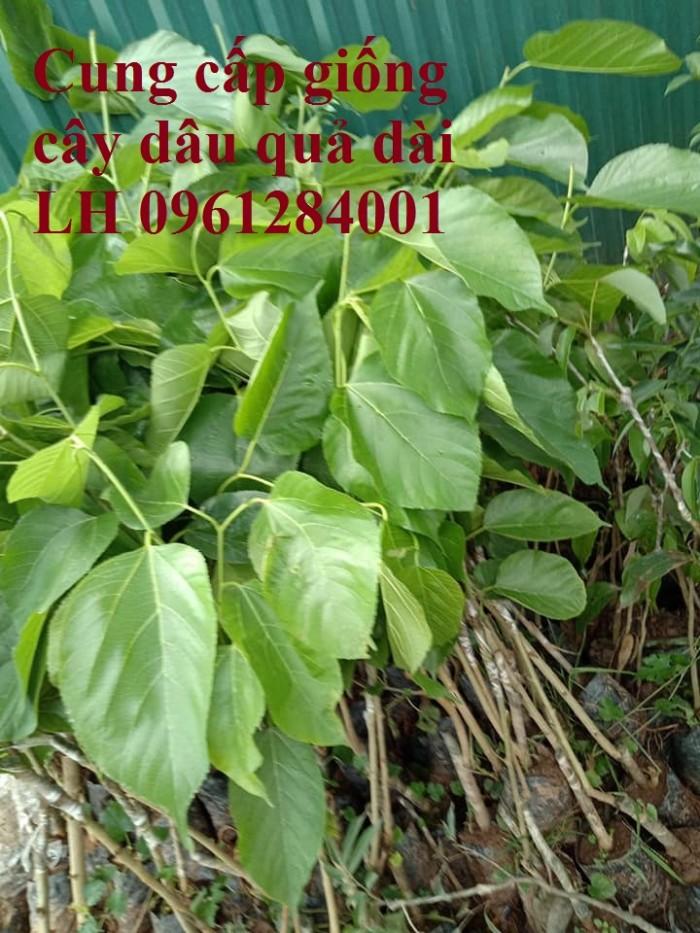 Cây giống dâu quả dài, dâu quả dài đài loan, cây giống nhập khẩu chất lượng cao2