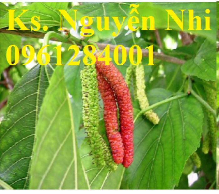 Cây giống dâu quả dài, dâu quả dài đài loan, cây giống nhập khẩu chất lượng cao10