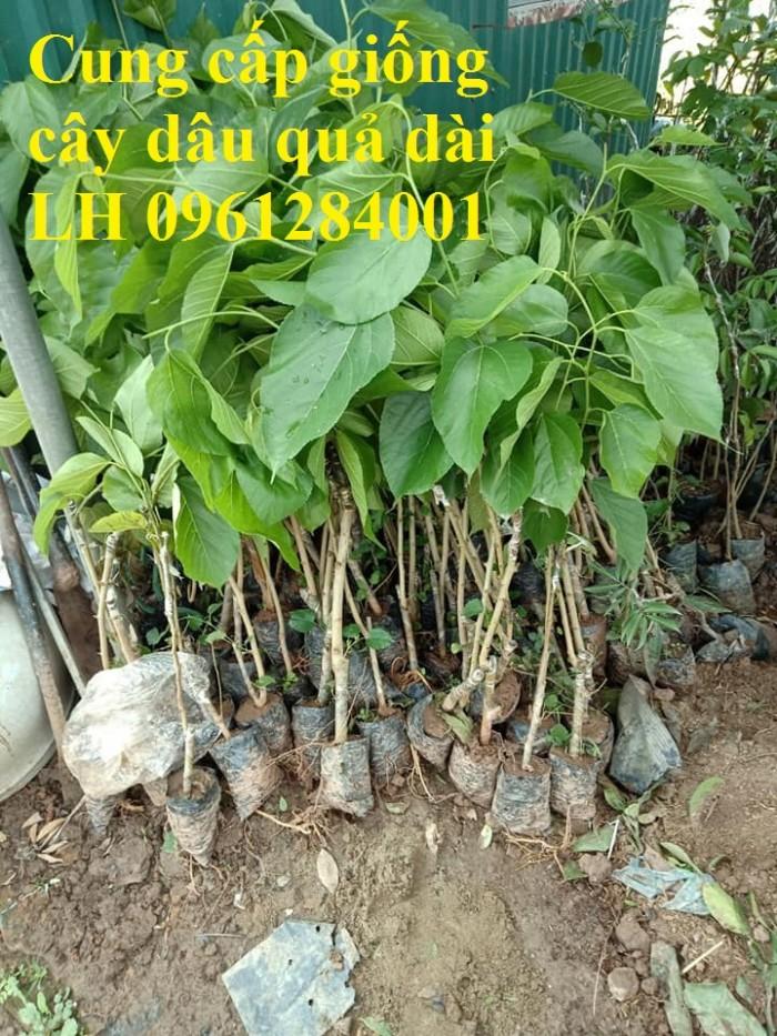 Cây giống dâu quả dài, dâu quả dài đài loan, cây giống nhập khẩu chất lượng cao1