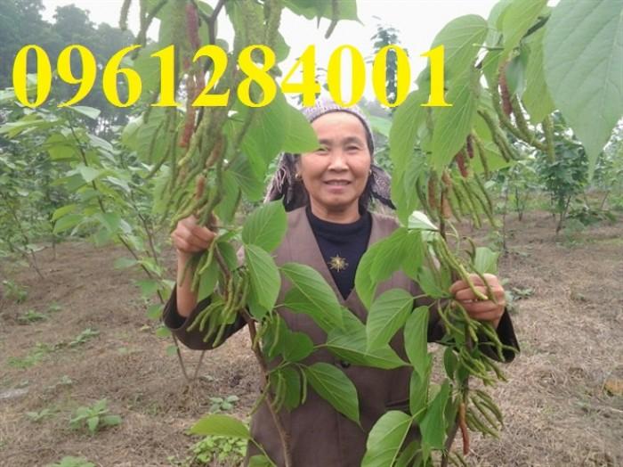 Cây giống dâu quả dài, dâu quả dài đài loan, cây giống nhập khẩu chất lượng cao5