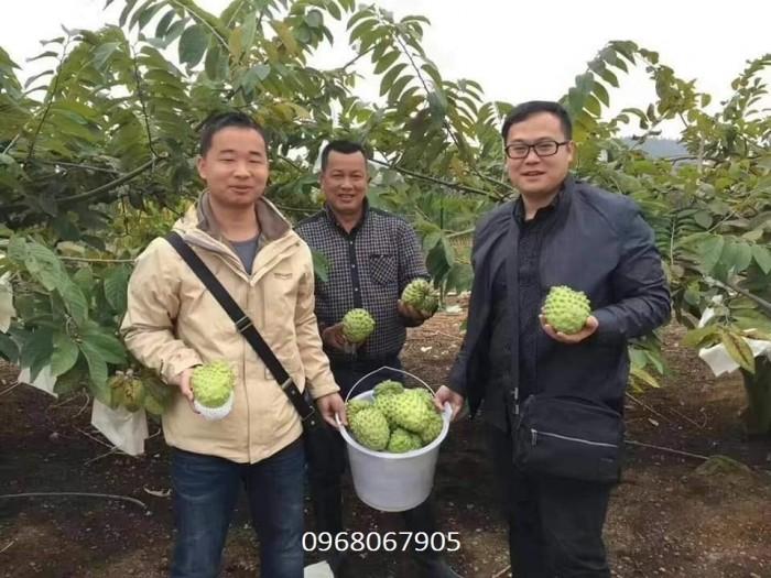 Bán giống cây Na Bở Đài Loan chuẩn giống nhập khẩu4