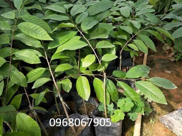 Bán giống cây Na Bở Đài Loan chuẩn giống nhập khẩu2