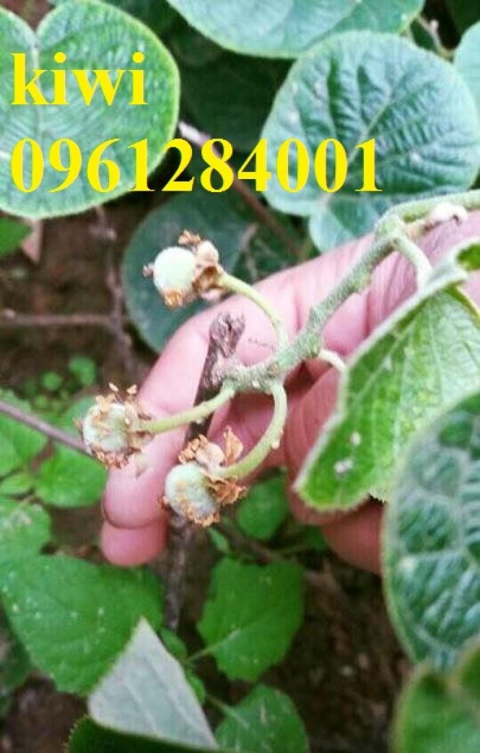 Bán cây giống kiwi, kiwi ruột xanh, kiwi ruột vàng, cây kiwi2