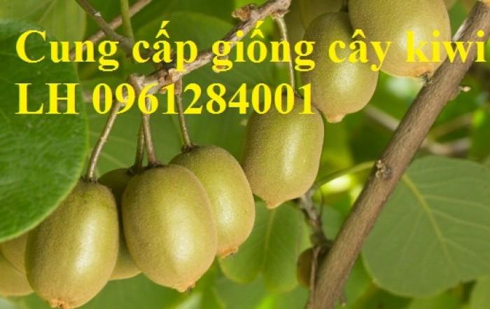 Bán cây giống kiwi, kiwi ruột xanh, kiwi ruột vàng, cây kiwi13