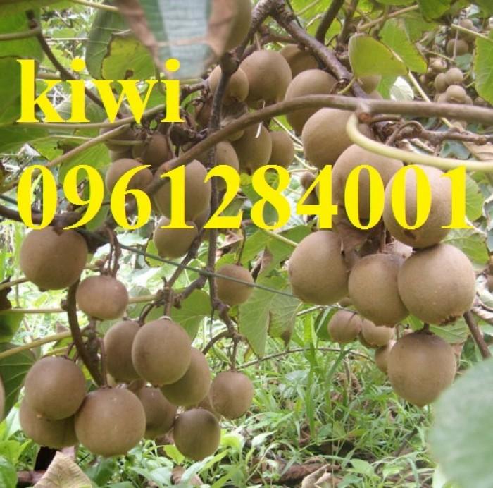 Bán cây giống kiwi, kiwi ruột xanh, kiwi ruột vàng, cây kiwi8