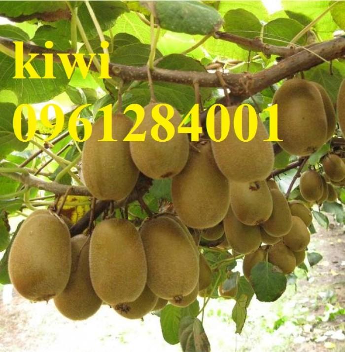 Bán cây giống kiwi, kiwi ruột xanh, kiwi ruột vàng, cây kiwi6