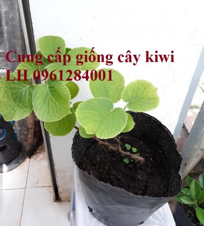 Bán cây giống kiwi, kiwi ruột xanh, kiwi ruột vàng, cây kiwi7