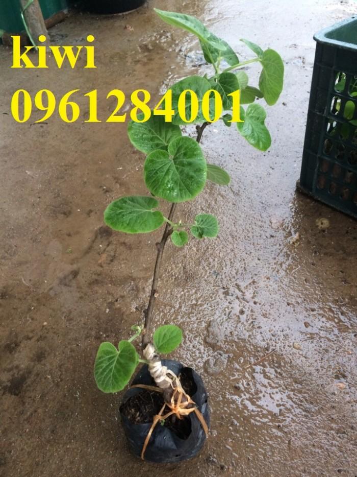 Bán cây giống kiwi, kiwi ruột xanh, kiwi ruột vàng, cây kiwi1