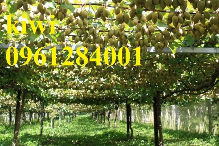 Bán cây giống kiwi, kiwi ruột xanh, kiwi ruột vàng, cây kiwi12