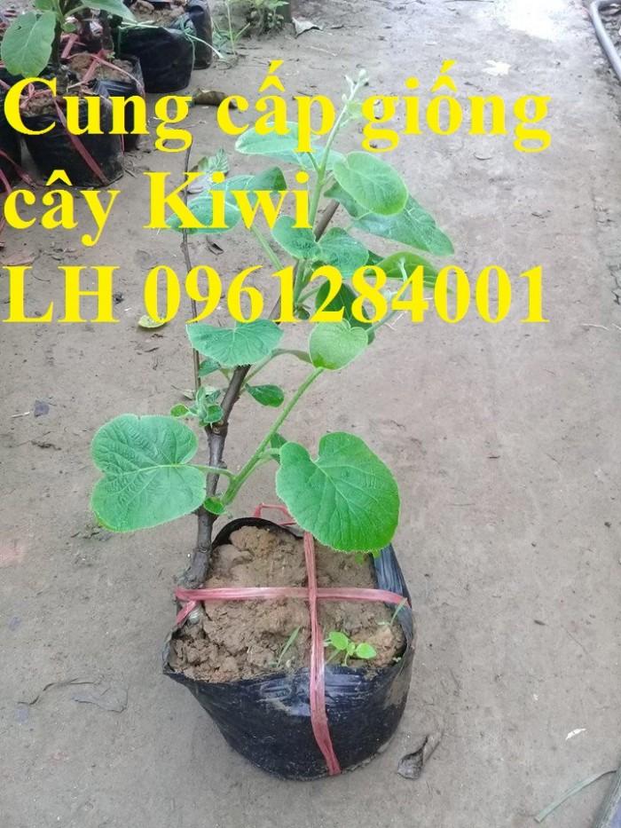 Bán cây giống kiwi, kiwi ruột xanh, kiwi ruột vàng, cây kiwi3