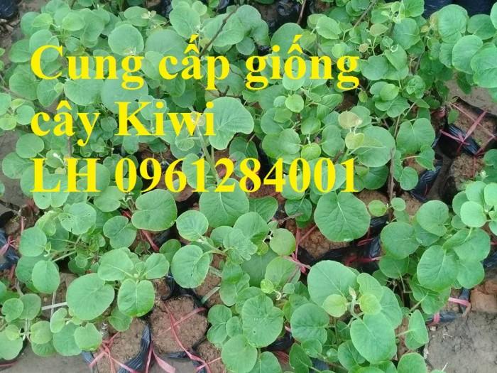 Bán cây giống kiwi, kiwi ruột xanh, kiwi ruột vàng, cây kiwi9