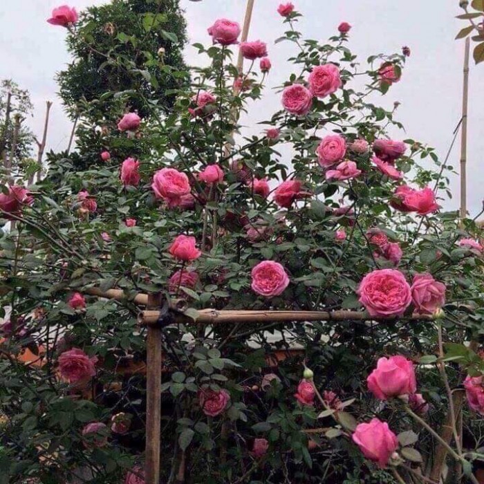 Cây hồng cổ sapa đẹp0