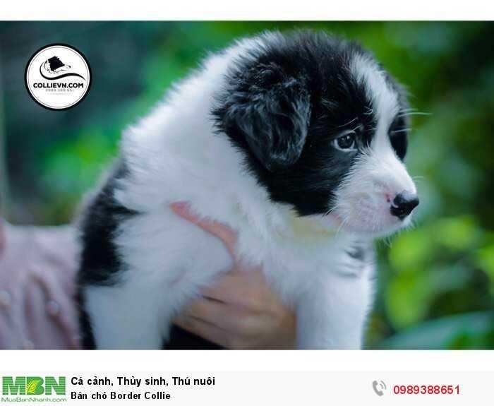 Bán chó Border Collie0