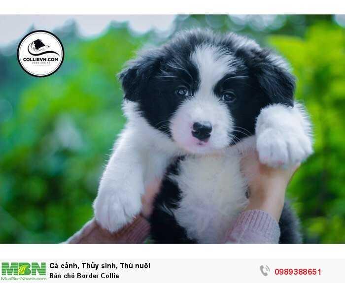 Bán chó Border Collie1