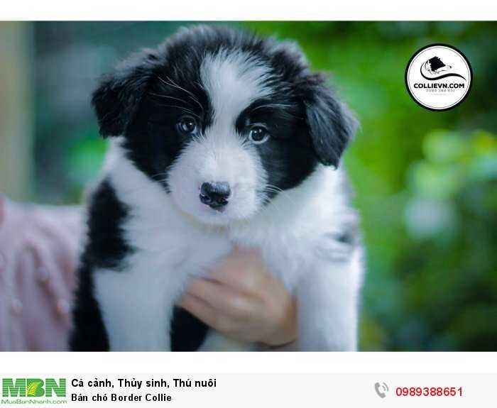 Bán chó Border Collie3
