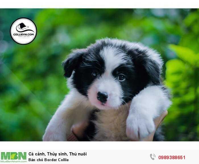 Bán chó Border Collie4