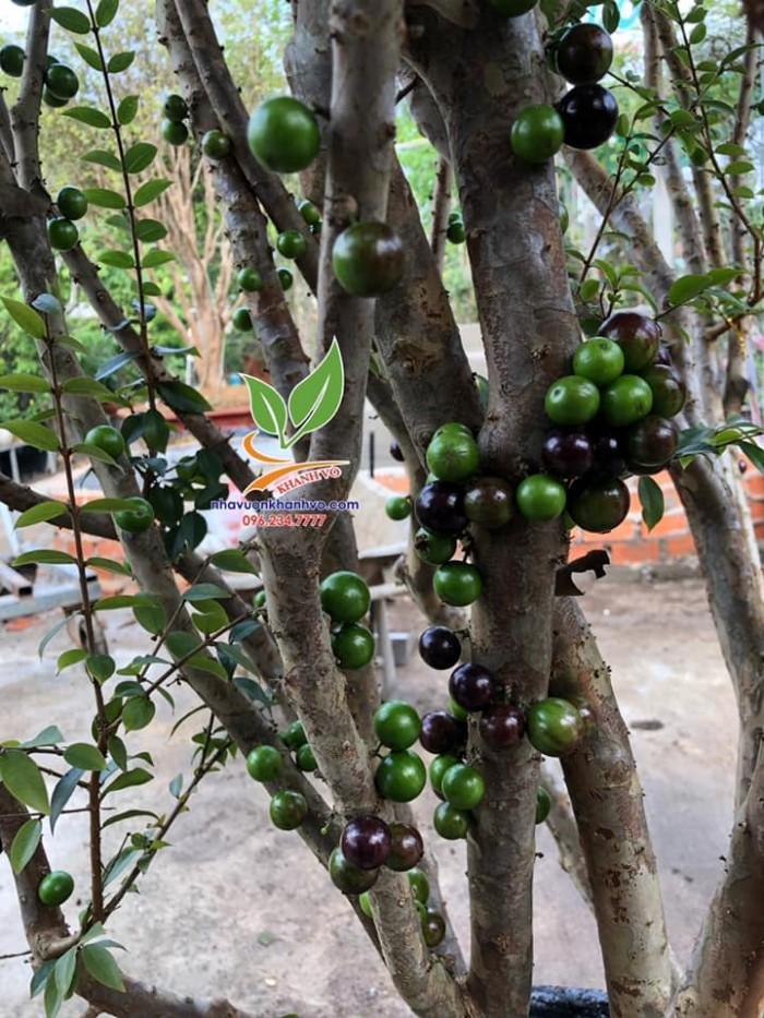 nho thân gỗ trái dày đặc dễ trồng0