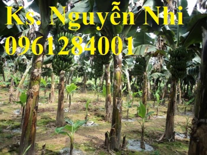 Cung cấp chuối nuôi cấy mô, chuối tiêu hồng, chuối laba, chuốc tây, chuối mốc, chuối đỏ11
