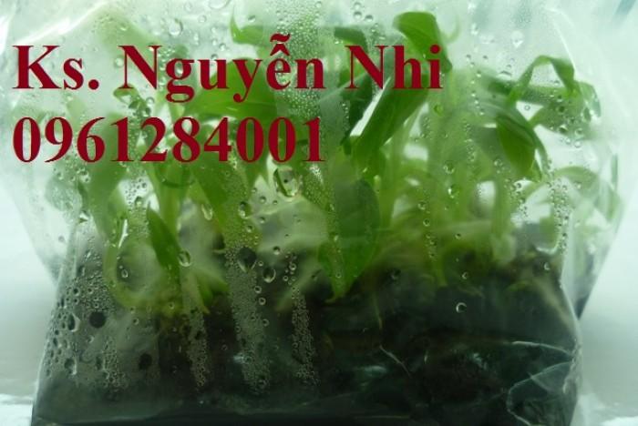 Cung cấp chuối nuôi cấy mô, chuối tiêu hồng, chuối laba, chuốc tây, chuối mốc, chuối đỏ10