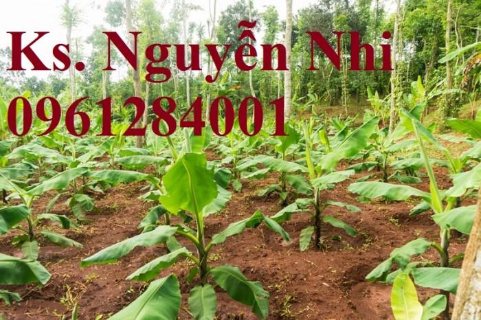 Cung cấp chuối nuôi cấy mô, chuối tiêu hồng, chuối laba, chuốc tây, chuối mốc, chuối đỏ7