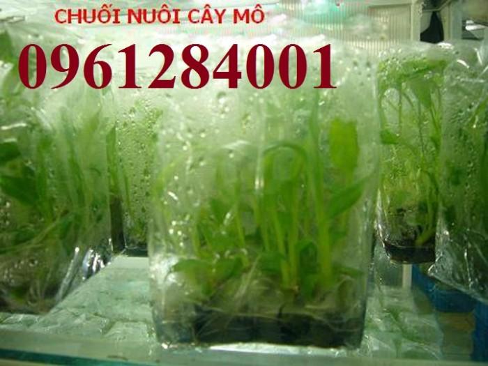 Cung cấp chuối nuôi cấy mô, chuối tiêu hồng, chuối laba, chuốc tây, chuối mốc, chuối đỏ8