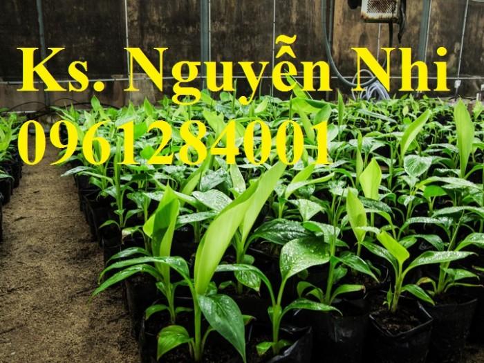 Cung cấp chuối nuôi cấy mô, chuối tiêu hồng, chuối laba, chuốc tây, chuối mốc, chuối đỏ9