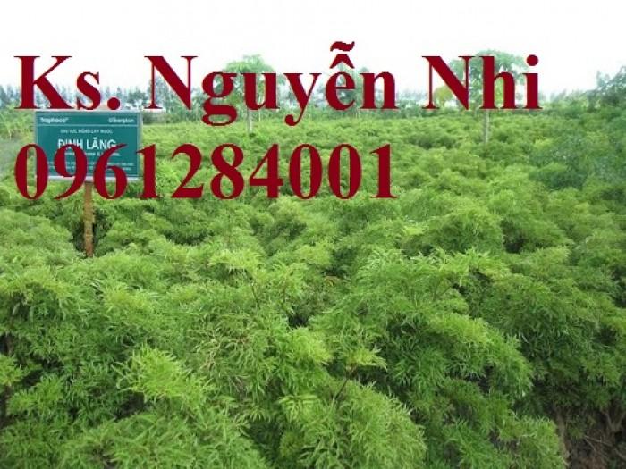 Chuyên cung cấp giống cây đinh lăng, đinh lăng lá nếp, đinh lăng lá nhỏ, uy tín, chất lượng9
