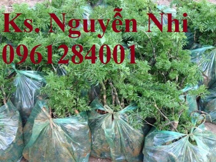 Chuyên cung cấp giống cây đinh lăng, đinh lăng lá nếp, đinh lăng lá nhỏ, uy tín, chất lượng15