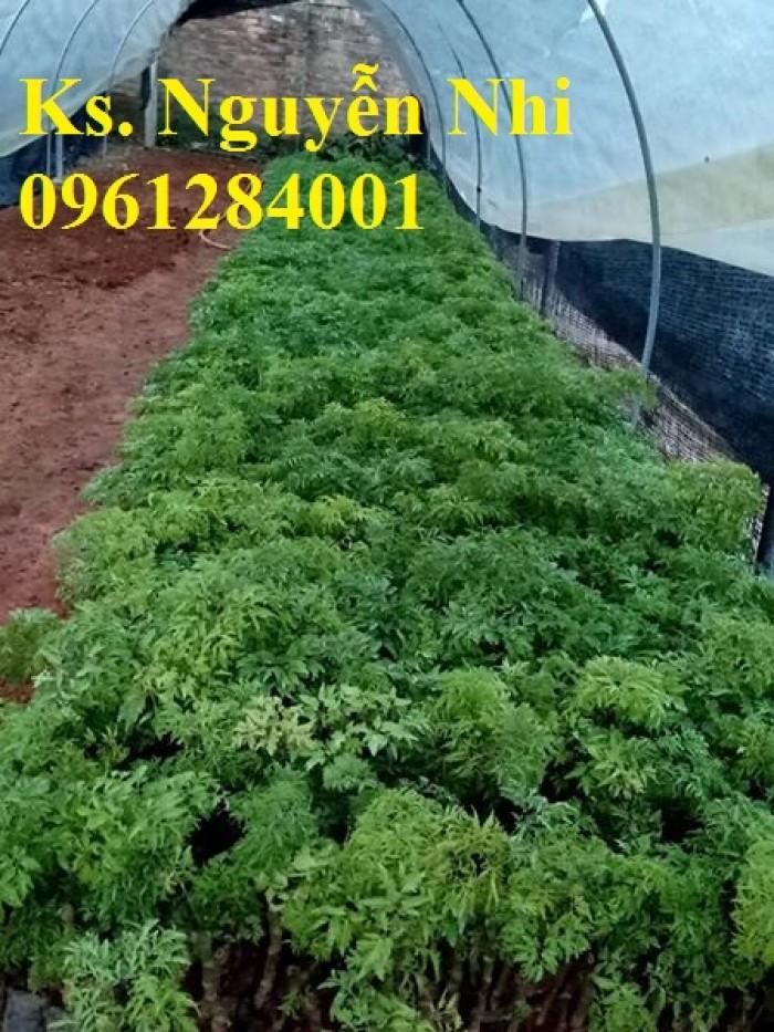 Chuyên cung cấp giống cây đinh lăng, đinh lăng lá nếp, đinh lăng lá nhỏ, uy tín, chất lượng3