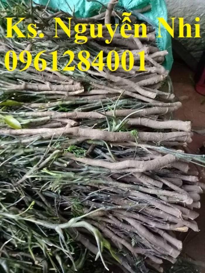 Chuyên cung cấp giống cây đinh lăng, đinh lăng lá nếp, đinh lăng lá nhỏ, uy tín, chất lượng4