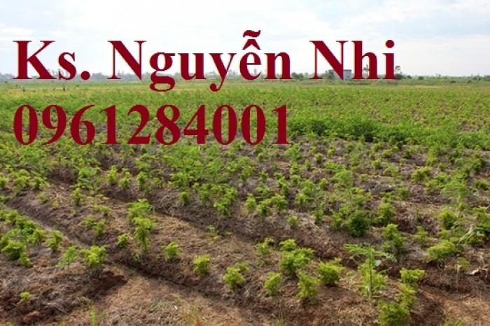 Chuyên cung cấp giống cây đinh lăng, đinh lăng lá nếp, đinh lăng lá nhỏ, uy tín, chất lượng17