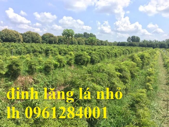 Chuyên cung cấp giống cây đinh lăng, đinh lăng lá nếp, đinh lăng lá nhỏ, uy tín, chất lượng10