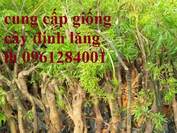 Chuyên cung cấp giống cây đinh lăng, đinh lăng lá nếp, đinh lăng lá nhỏ, uy tín, chất lượng18