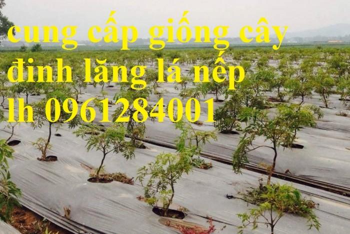 Chuyên cung cấp giống cây đinh lăng, đinh lăng lá nếp, đinh lăng lá nhỏ, uy tín, chất lượng14