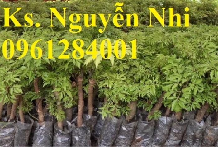 Chuyên cung cấp giống cây đinh lăng, đinh lăng lá nếp, đinh lăng lá nhỏ, uy tín, chất lượng13
