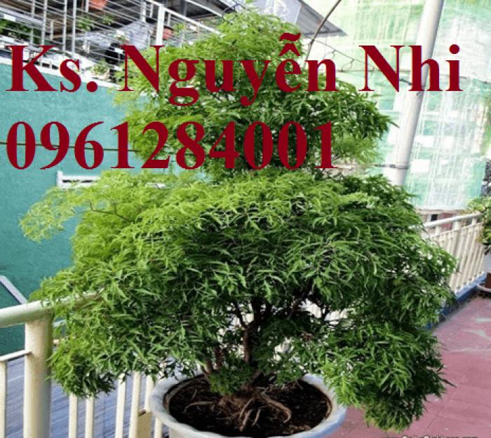 Chuyên cung cấp giống cây đinh lăng, đinh lăng lá nếp, đinh lăng lá nhỏ, uy tín, chất lượng20
