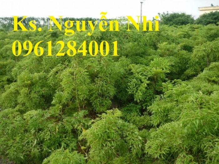 Chuyên cung cấp giống cây đinh lăng, đinh lăng lá nếp, đinh lăng lá nhỏ, uy tín, chất lượng7