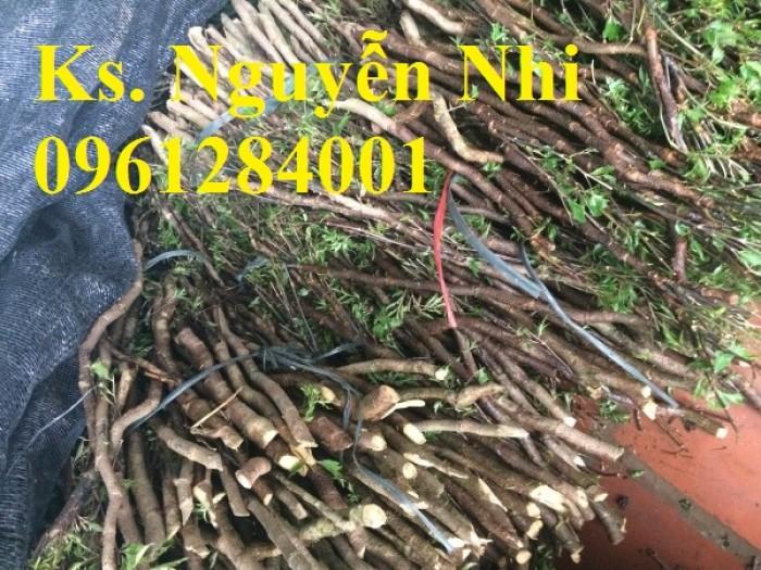 Chuyên cung cấp giống cây đinh lăng, đinh lăng lá nếp, đinh lăng lá nhỏ, uy tín, chất lượng8