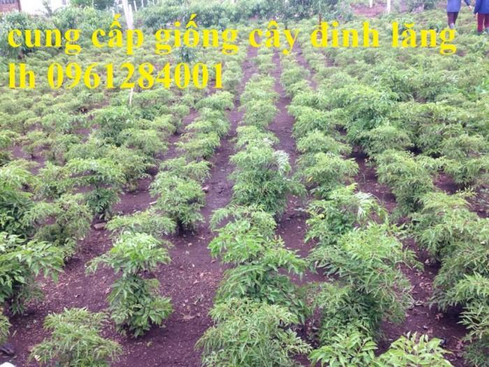 Chuyên cung cấp giống cây đinh lăng, đinh lăng lá nếp, đinh lăng lá nhỏ, uy tín, chất lượng5