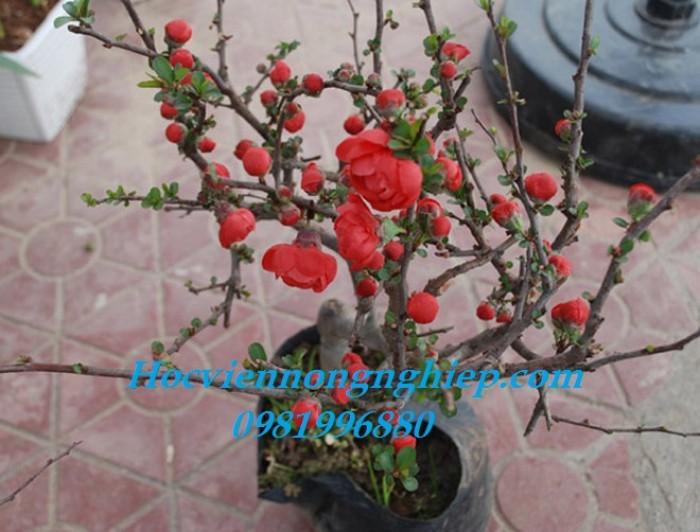 Cung cấp sỉ lẻ hoa mai đỏ toàn quốc3
