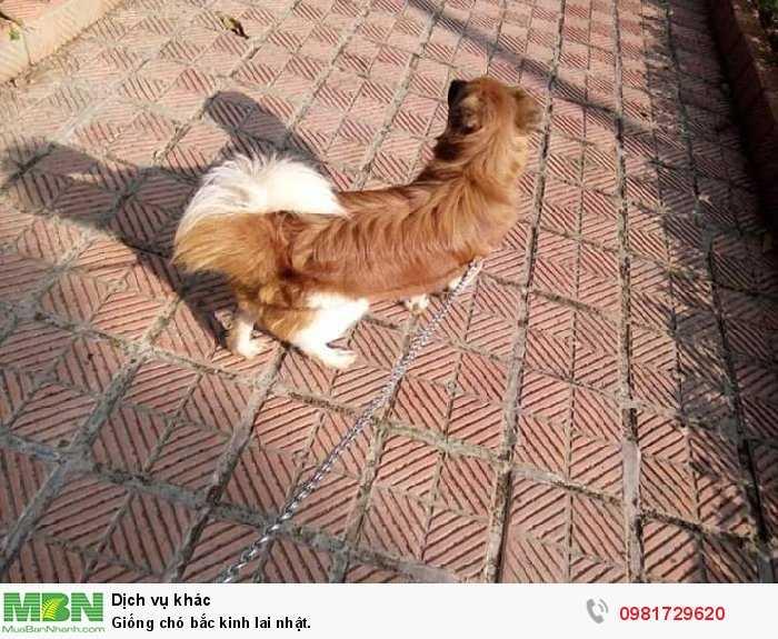 Giống chó bắc kinh lai nhật.0